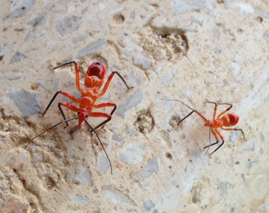 Assassin-bugs-two-growth-stages